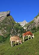 Grazing cows below Mt Santis