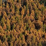 Golden larch forest in autumn Zermatt