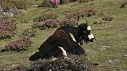 Yak resting on a meadow full of pink flowers
