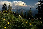 beautiful scenery at Chiemgau alps with Trollius europaeus, the globeflower