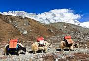 Yak schlepping luggage in front of Nuptse and Lhotse
