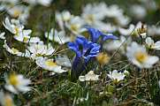 alpine meadow with blue gentian