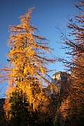 Autumn tree - Larch
