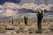 National park of Los Cardones with big cactus