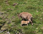 Female alpine ibex with suckling baby