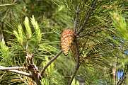 Pine Tree with cone in Serenity Garden