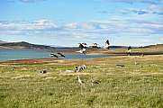 a group of upland goose or Magellan goose (Chloephaga picta) flying