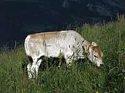 Grazing calf