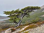 Nothofagus beech tree at Los Glaciares national park