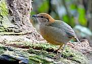 Rusty naped Pitta Pitta oatesi