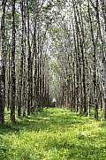 Rows of rubber tree