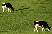 Two cows grazing on green pasture