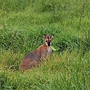 Grazing wallaby