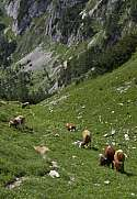 Cows at the pasture near Bohinj slovenian Julian Alps
