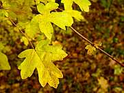 Yellow Golden Maple Leaves in Autumn