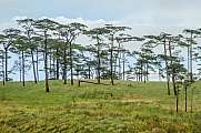 Pine tree forest in Thailand