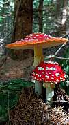Small family of Amanita muscaria forest mushrooms