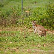 Wallaby on a meadow