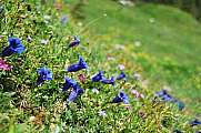 meadow with many blue gentian