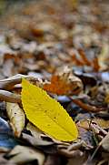 Single yellow autumn leaf on the forest floor