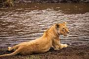 Female Lion lying by the water