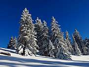 Firs in white snow and blue sky in Swiss Alps