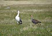 a pair of upland goose or Magellan goose (Chloephaga picta)