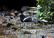 White-crowned Forktail Enicurus leschenaulti