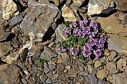 Purple mountain saxifrage growing on 3000m altitude