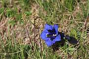Blue Gentian growing in the Alps Gentiana alpina
