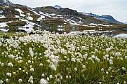 alpine meadow with lots of cottongrass