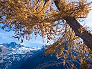 Autumn larch and Aiguille d'Argentiere