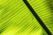 Texture of banana leaf