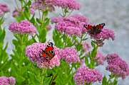 beautiful european peacock butterfly on sedum telephium