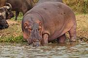 hippopotamus with baby at the water