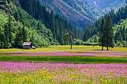 pink blooming alpine meadow in the valley