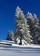 Wintery trees in Gstaad