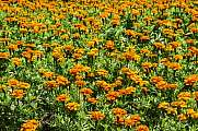 Beautiful orange Tagetes flowers with green leaf