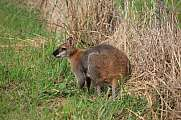 Wallaby grazing on a farm in NSW, Australia