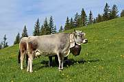 Beautiful cow with bell on a a meadow in the Swiss Alps