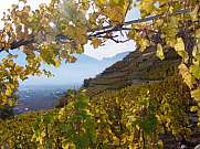 vineyard with wine leaves in the foreground