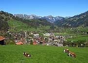 Grazing cows in Zweisimmen