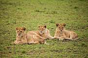 Three female lions in the grass (Panthera leo)