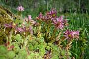 blossoming tiny houseleeks - sempervivum montanum
