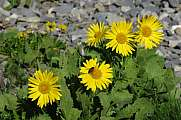 Leopard`s bane, yellow wildflowers growing in the Alps